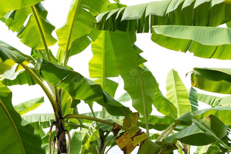Feuilles de banane dans le jardin tropical images libres de droits
