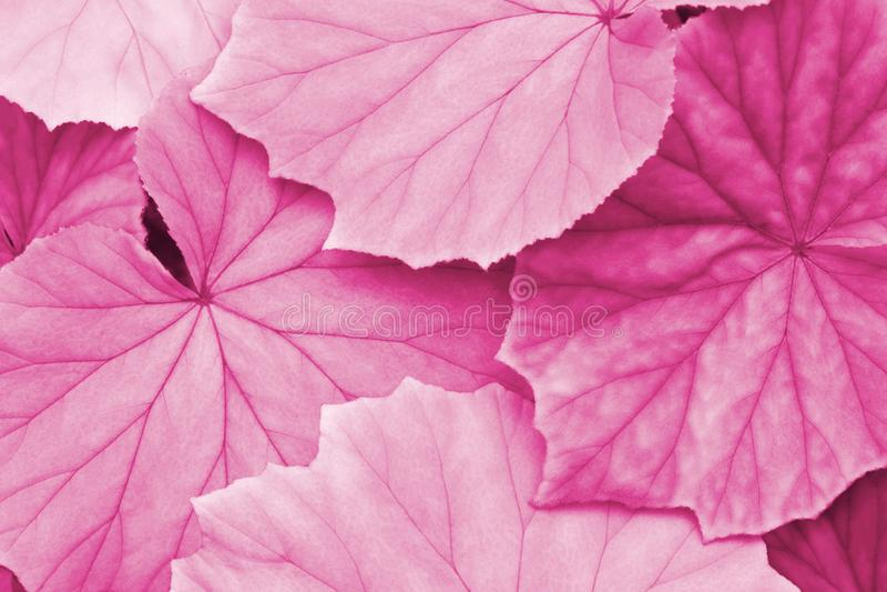 Feuilles de Begonia Plant dans Tone Color rose en tant que fond abstrait naturel de texture photos libres de droits