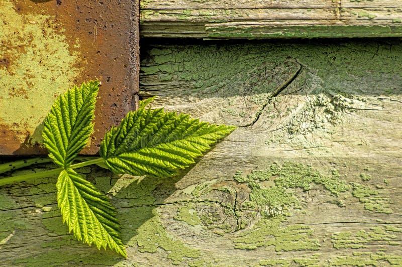 Feuilles de Blackberry sur le vieux mur en bois photo libre de droits