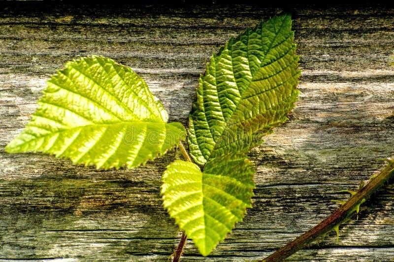 Feuilles de Blackberry sur le vieux mur en bois photographie stock