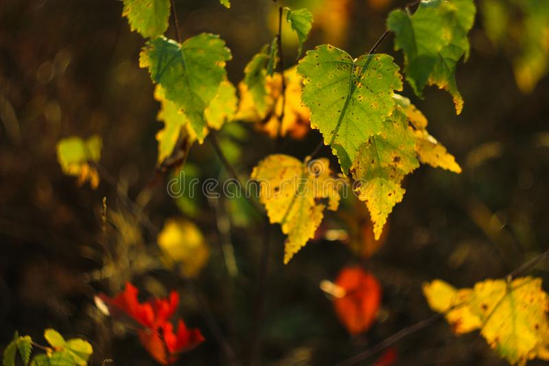 Feuilles de bouleau en automne photo stock