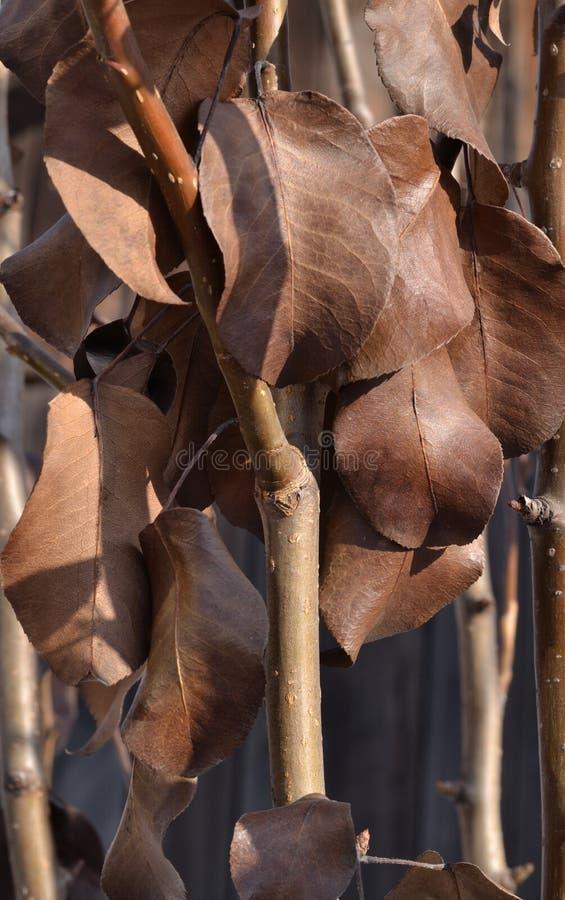 Download Feuilles De Brown Sur La Pomme Surgelée Photo stock - Image du dense, centrale: 87704528