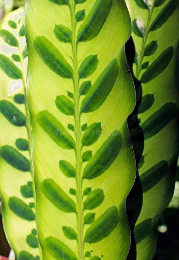 Feuilles de Calathea Lancifolia photographie stock