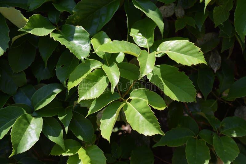Feuilles de chêne Anneau-évasé photo libre de droits