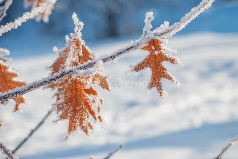 Feuilles de chêne avec une gelée image stock