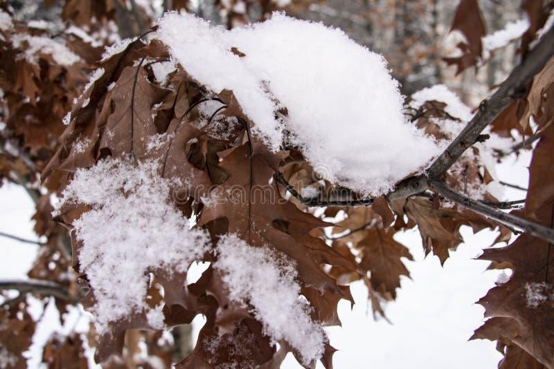 Feuilles de chêne de Brown couvertes de plan rapproché de gelée photos libres de droits