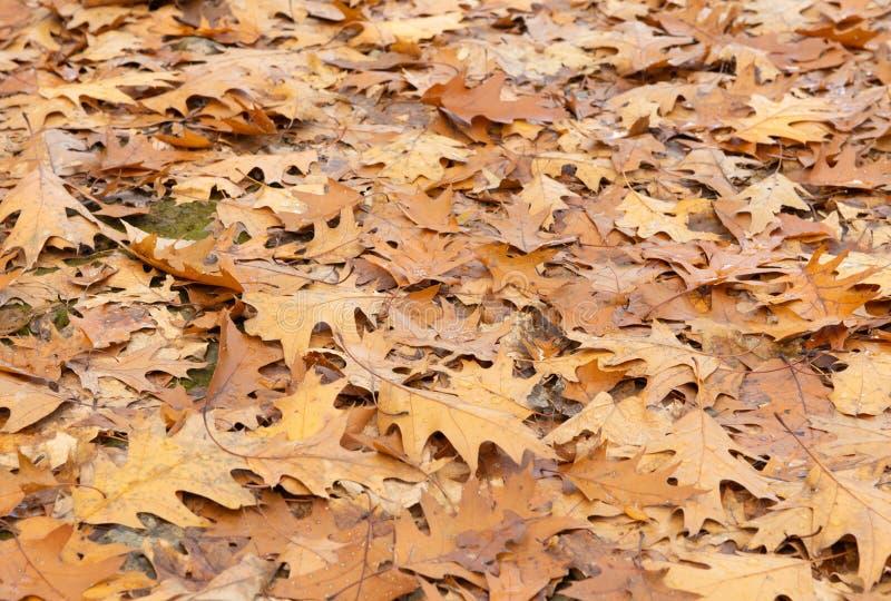 Feuilles de chêne sur Forest Floor photo stock