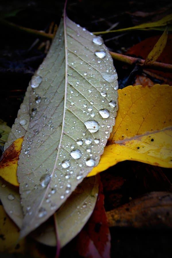 Feuilles de chute avec des gouttes de pluie photos stock
