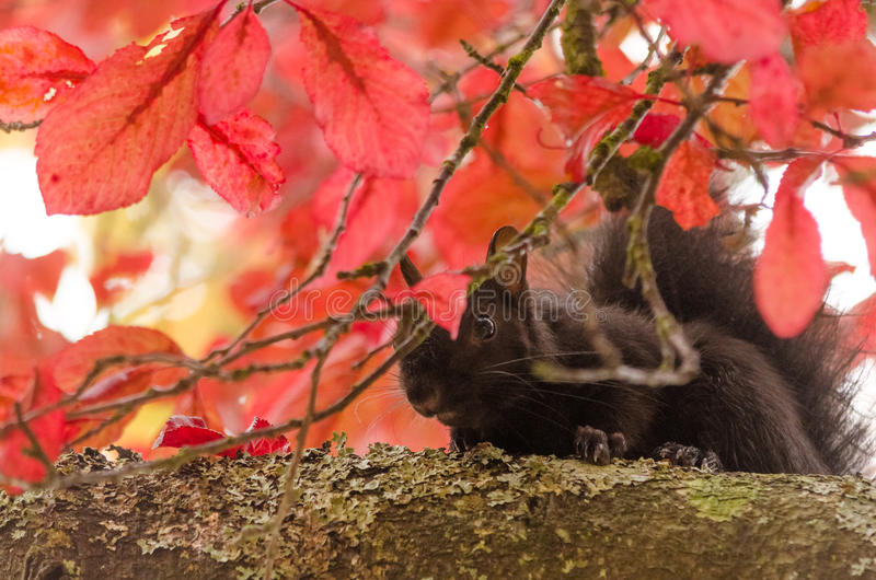 Feuilles de chute cachant un écureuil noir photo stock