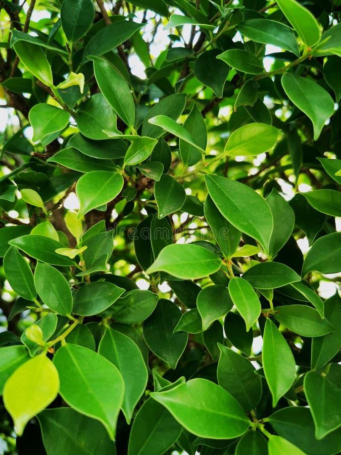 Feuilles de couleur vert pâle des arbres Banyan images libres de droits