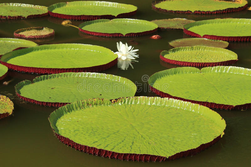 Feuilles de cruziana de Victoria flottant sur l'étang image stock