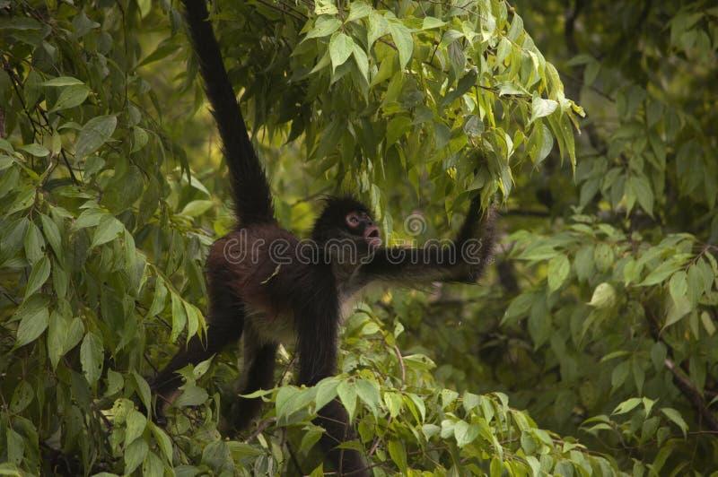 Feuilles de cueillette de singe d'araignée photo stock