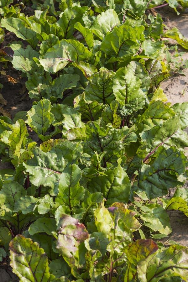 Feuilles de cultiver la betterave rouge sur un lit dans la vue supérieure de jardin photo stock