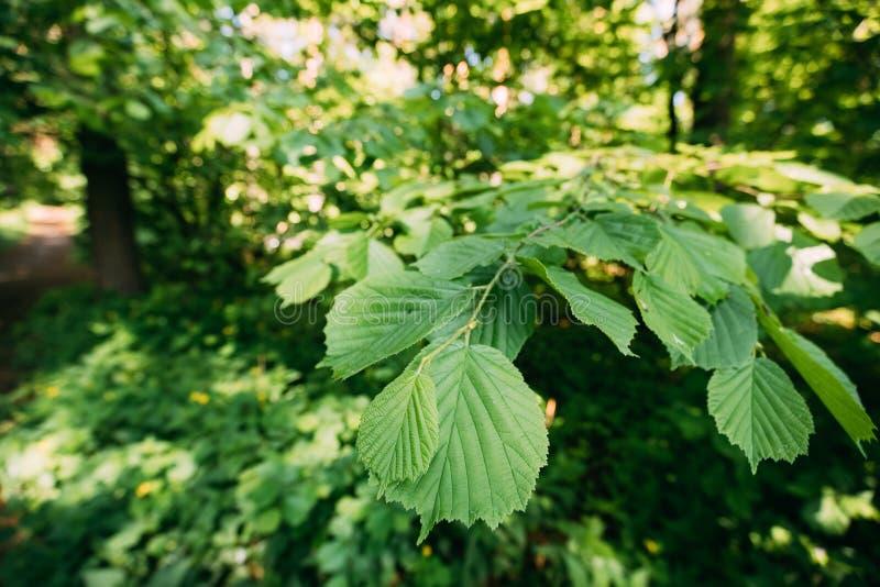 Feuilles de feuille sur la branche de l'élevage d'arbre de Viridis d'aulne vert ou d'Alnus image libre de droits