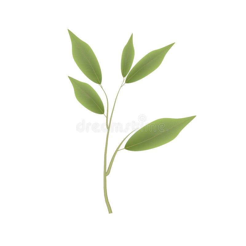 Feuilles de ficus Embranchez-vous avec les feuilles vertes, vecteur illustration stock