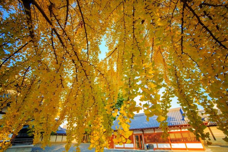 Feuilles de Ginkgo colorées jaunes photos libres de droits