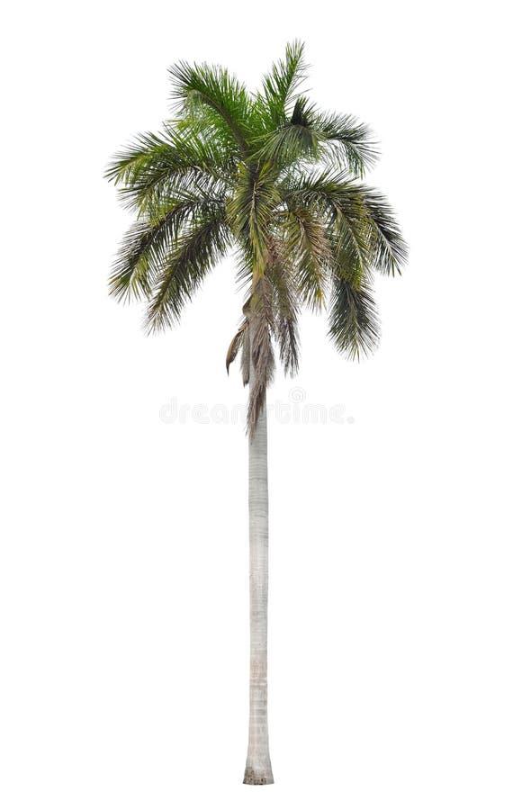 Feuilles de hangar de palmier royal d'isolement photo stock