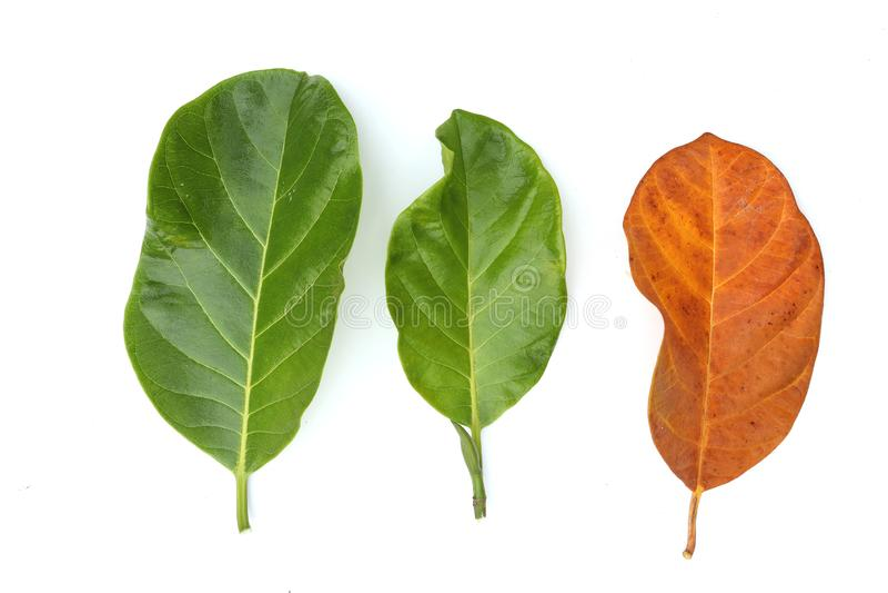 Feuilles de jacquier, vertes, orange, d'isolement sur le fond blanc photos libres de droits