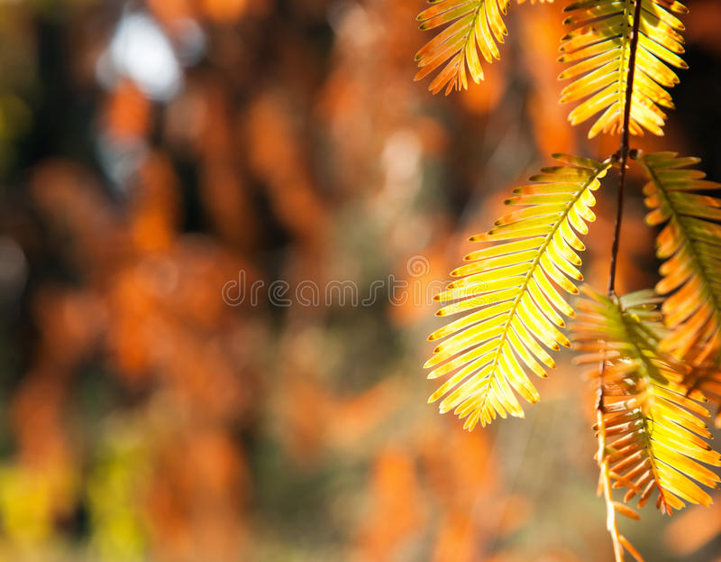 Feuilles de jaune d'arbre japonais image libre de droits