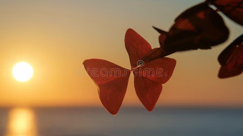 Feuilles de la plante de shamrock violet, d'oxalis ou détails de la plante d'amour avec fond flou de coucher de soleil image stock
