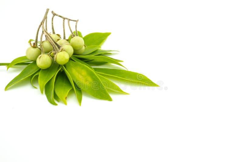 Feuilles de leucantha de Schefflera et indicum de solanum sur le fond blanc photographie stock