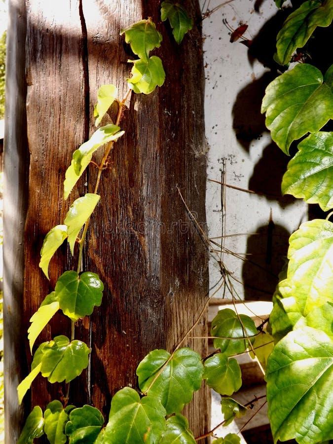 Feuilles de lierre sur un tronc en bois photos stock