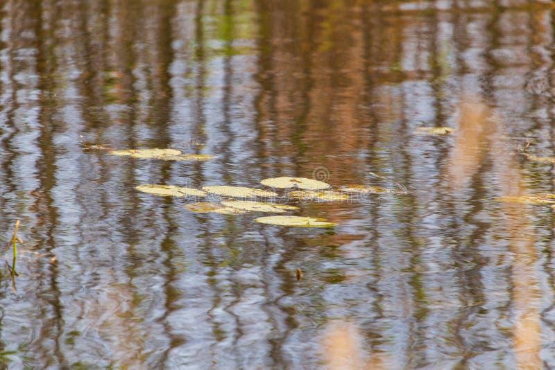 Feuilles de lis sur la surface de l'eau dans l'?tang en automne photos libres de droits