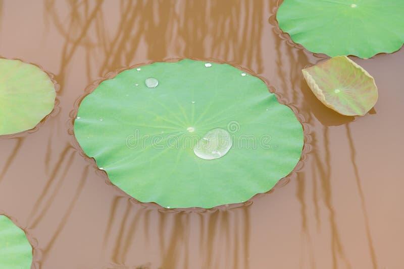 Feuilles de Lotus avec des gouttes de l'eau Jardin oriental Fond exotique naturel photographie stock libre de droits