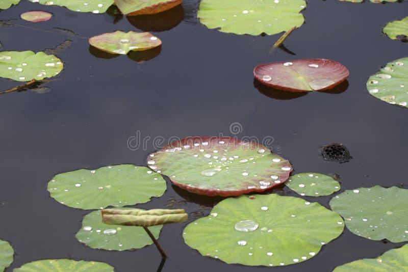 Feuilles de Lotus dans le marais, qui a une goutte d'eau sur le dessus photographie stock libre de droits