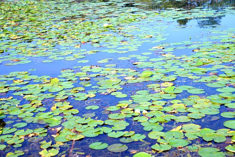 Feuilles de Lotus flottant sur l'eau de lac images libres de droits