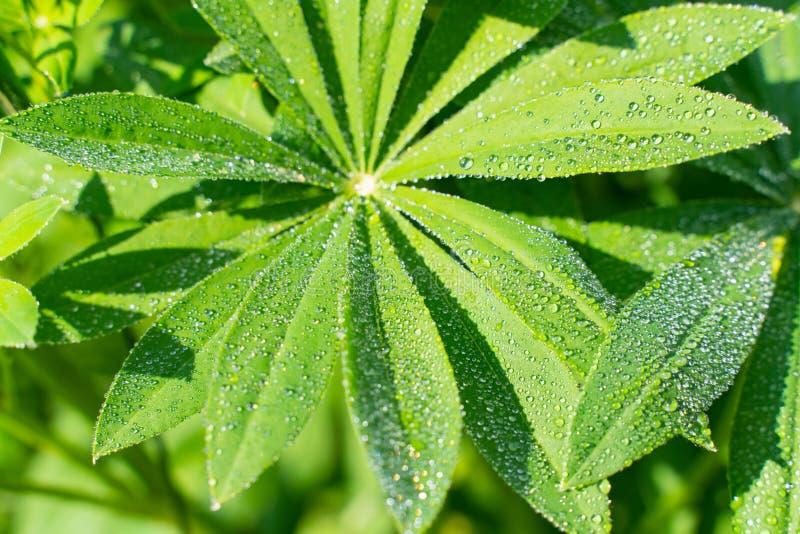 feuilles de loup vertes avec des baisses de l'eau beau normal de fond photo stock