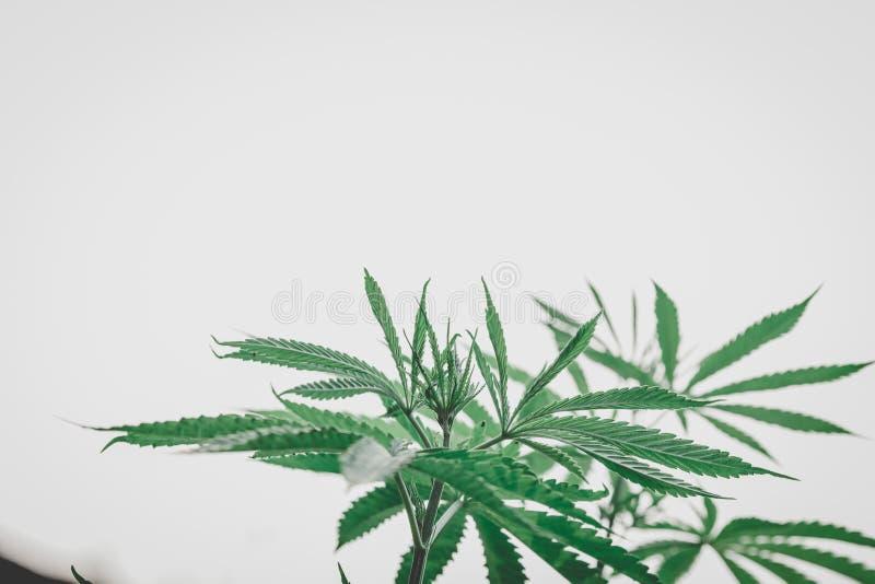 Feuilles de marijuana, chanvre, fond indica et naturel de bokeh photo stock