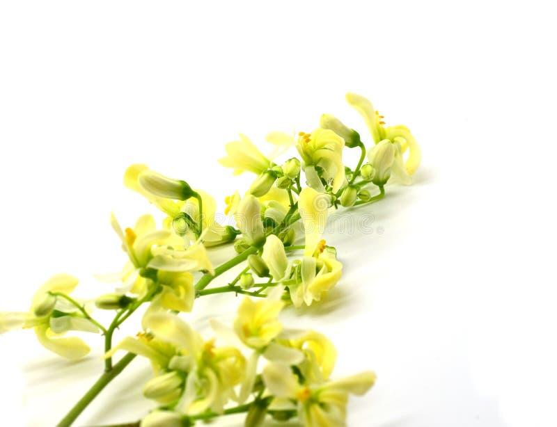 Feuilles de Moringa avec la fleur images stock