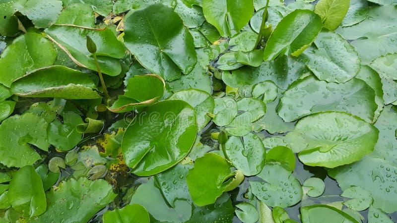 feuilles de nénuphar sur la surface de l'eau image stock
