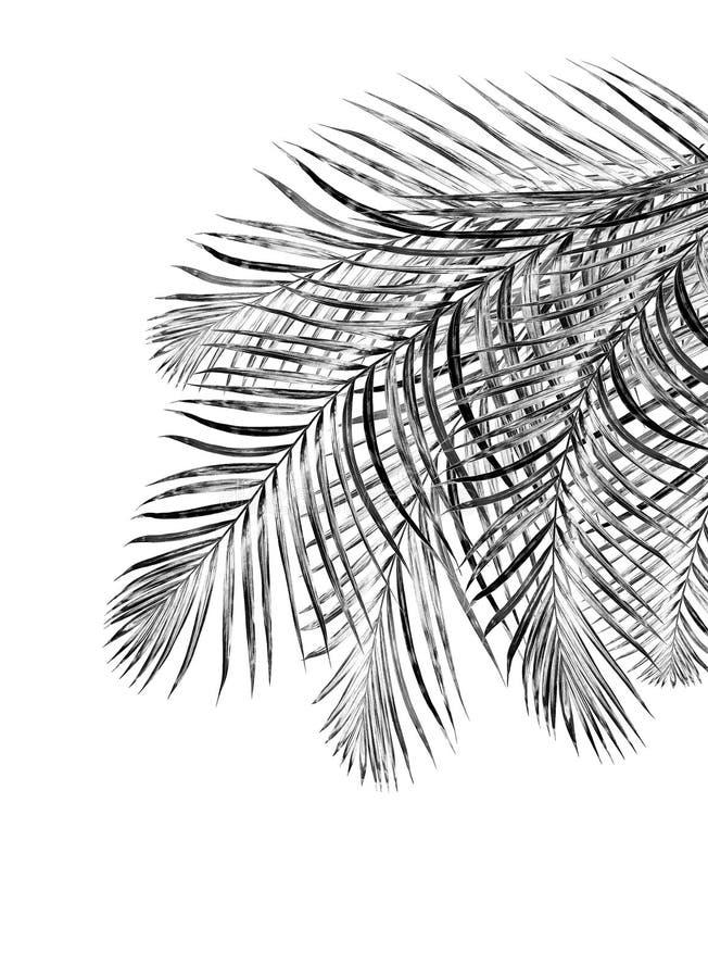 Feuilles de noir de palmier photo stock