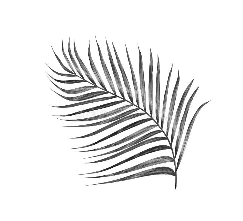 Feuilles de noir de palmier photo libre de droits