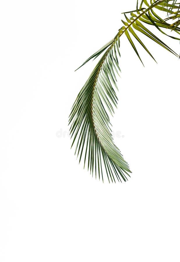 Feuilles de palmier d'isolement sur le fond blanc images stock