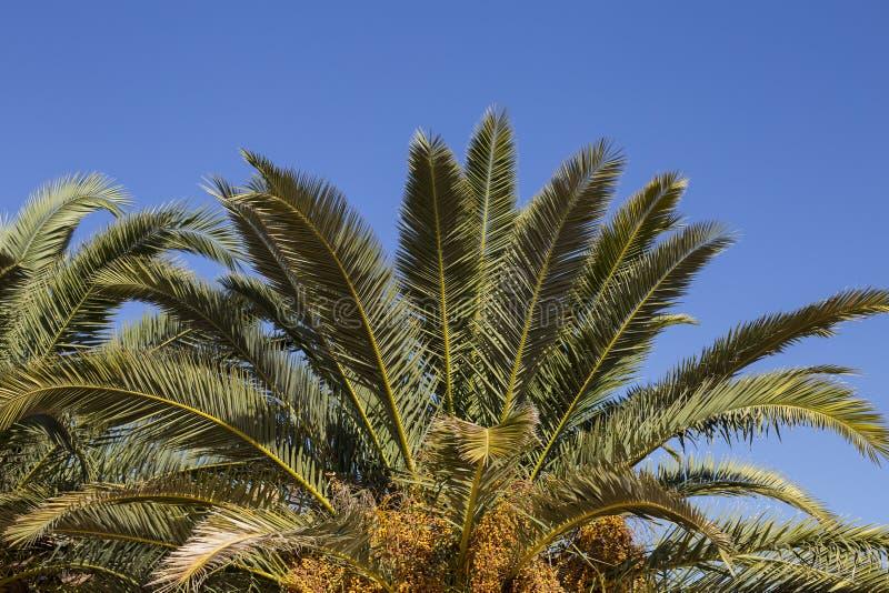 Feuilles de palmier sur le ciel bleu Copiez l'espace photo stock