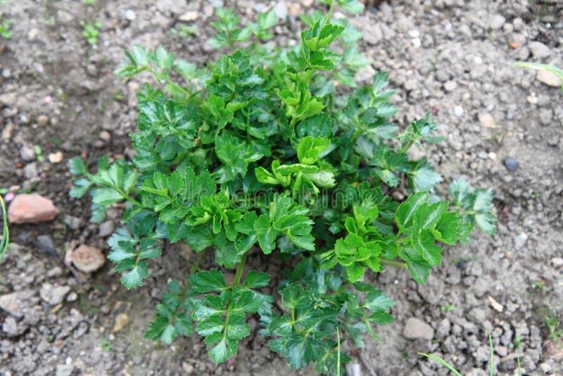 Feuilles de persil de ressort (herbes de ressort) photographie stock libre de droits