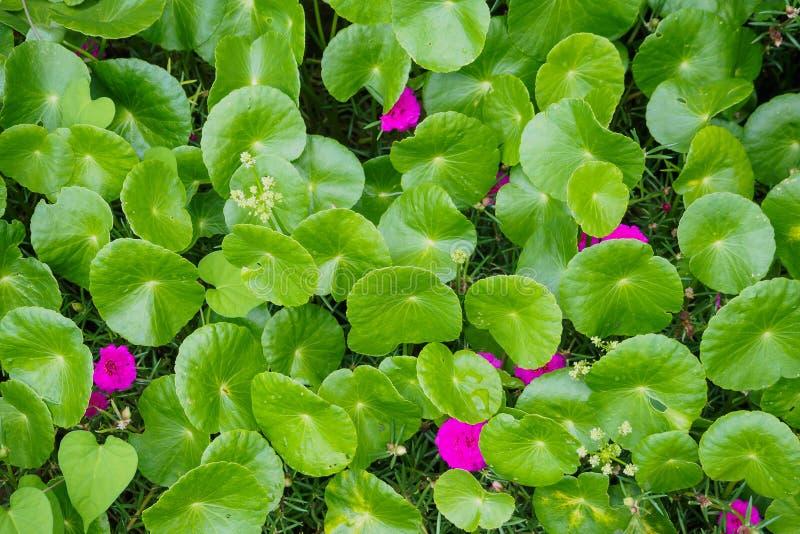 Feuilles de phytothérapie de Centella asiatica photo libre de droits