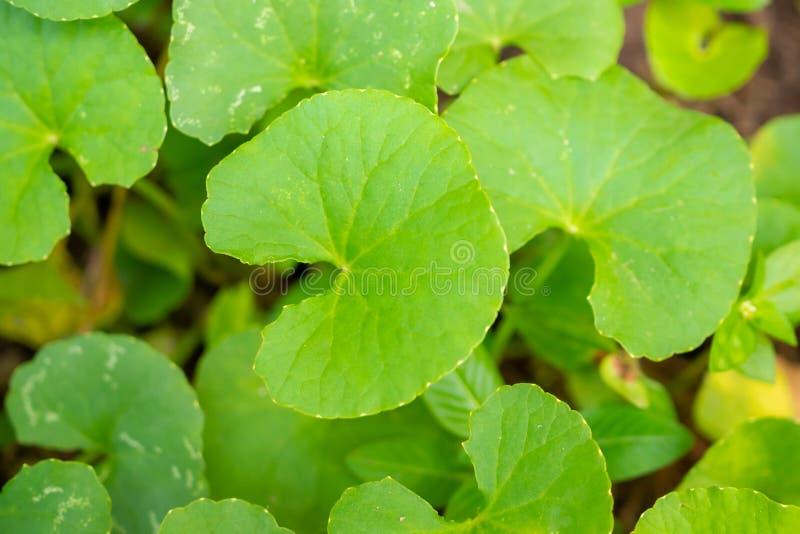 Feuilles de phytoth?rapie de Centella asiatica photos libres de droits