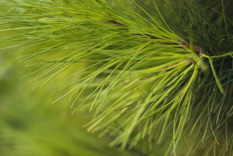Feuilles de pin photo libre de droits