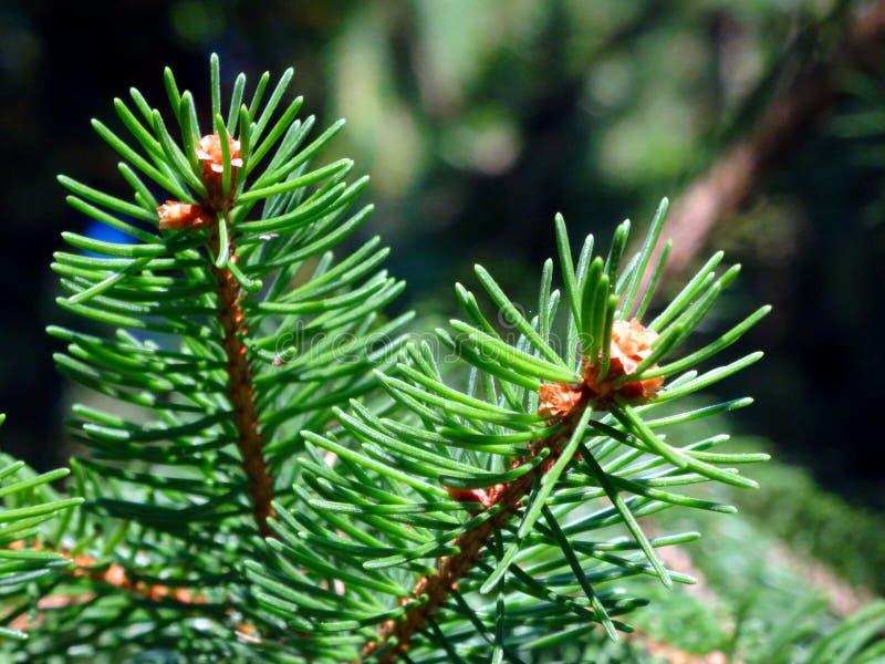 Feuilles de pin images libres de droits