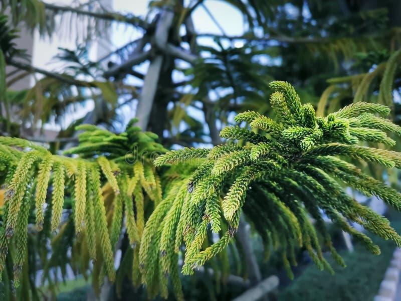 Feuilles de pin de l'Île Norfolk avec le foyer sélectif photographie stock