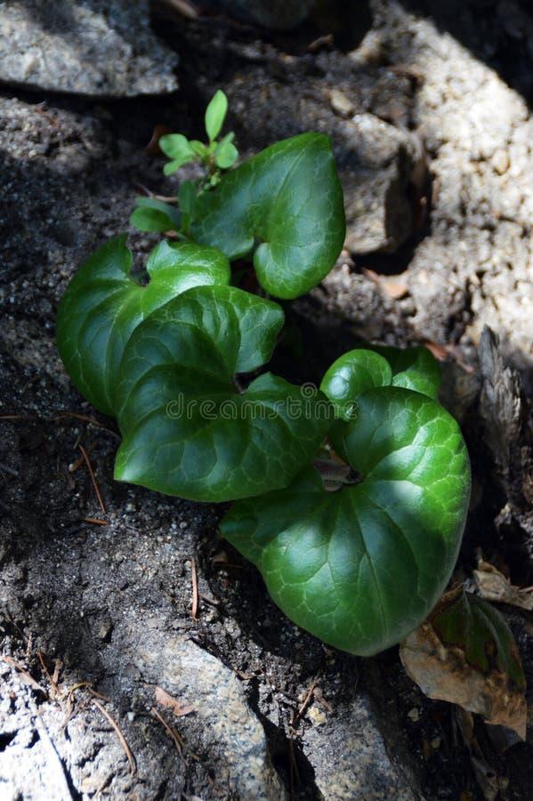 Feuilles de plante verte sur la roche photographie stock