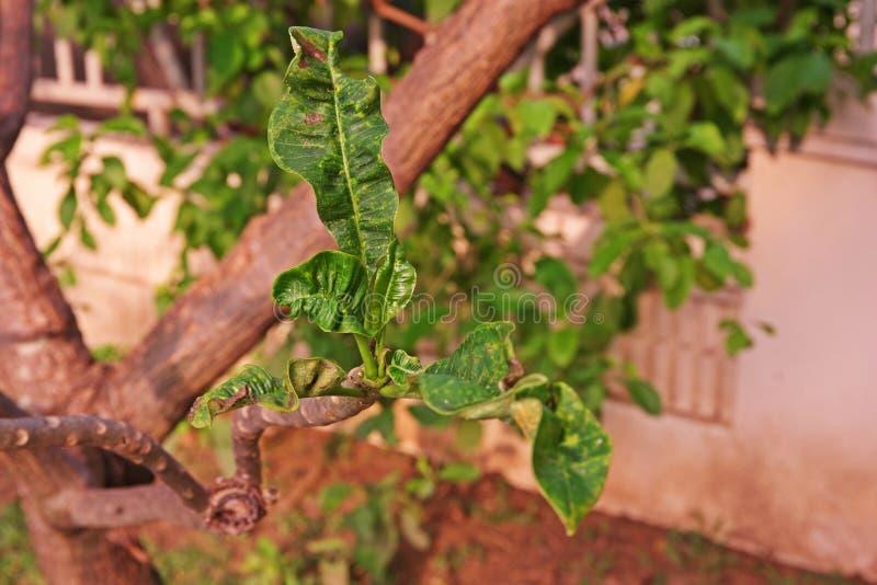 Feuilles de Plumeria et malformation de pousse image libre de droits