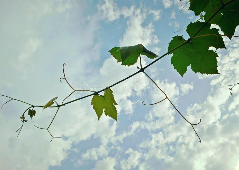 Feuilles de raisin au ciel nuageux images libres de droits