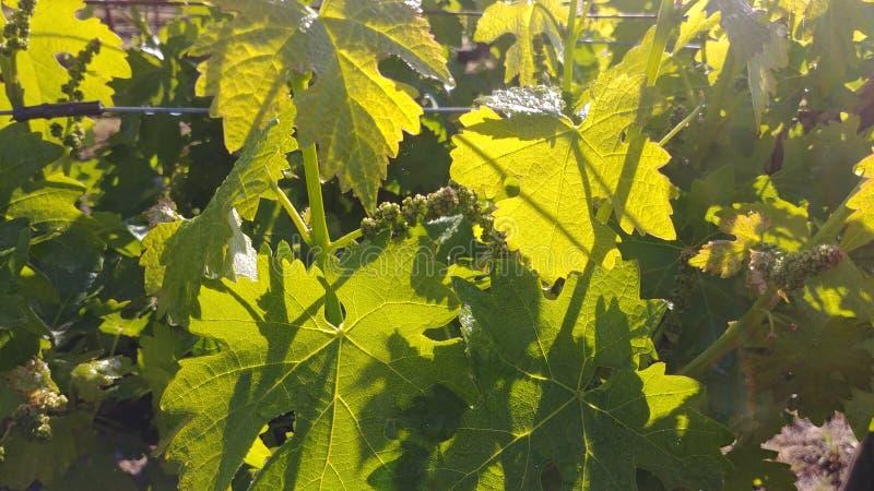 Feuilles de raisin de cuve de Cabernet avec la lumière du soleil brillant  images libres de droits