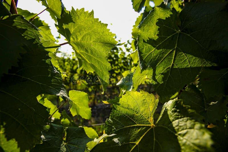 Feuilles de raisins et de vin, récolte image libre de droits