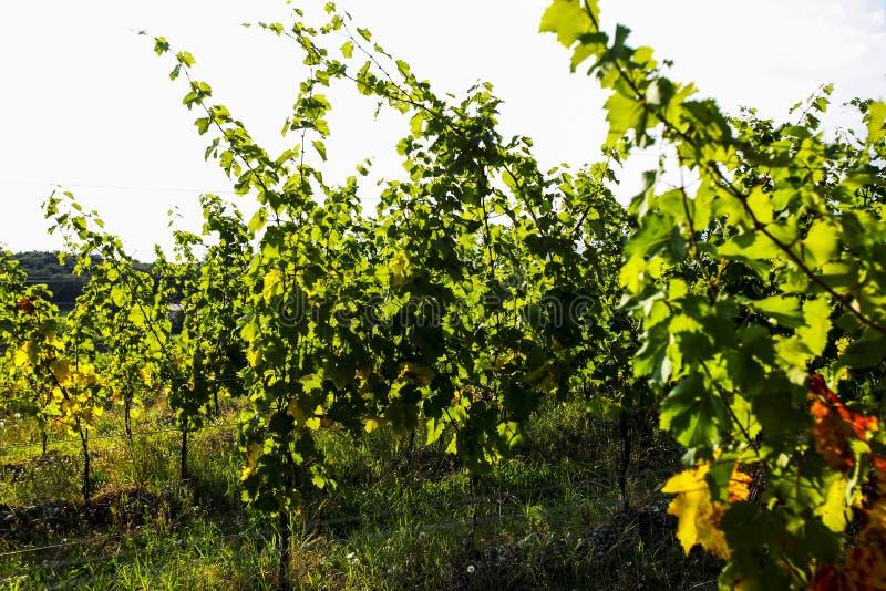 Feuilles de raisins et de vin, récolte images libres de droits
